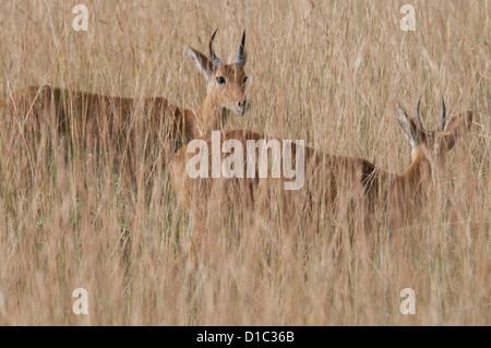 Bohor reedbucks in tall grasses - Stock Photo