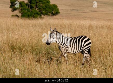 Burchell's Zebra in plains - Stock Photo