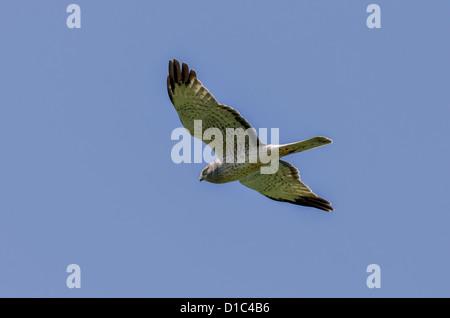 Northern Harrier in flight - Stock Photo