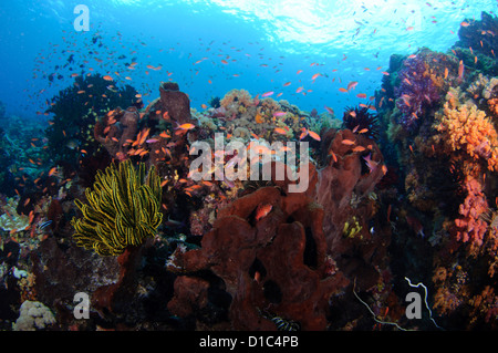 Anthias hover over sponges and soft corals, Spice Islands, Maluku Region, Halmahera, Indonesia, Pacific Ocean - Stock Photo