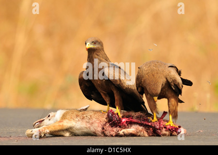 Black Kite Milvus migrans, Accipritidae, predation on black-backed jackal Canis mesomelas, Gambela, Ethiopia, Africa - Stock Photo
