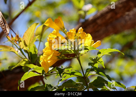 Yellow Elder Tree, Tecoma stans, Bignoniaceae. Native to the Tropical Americas. This Specimen Photographed in Madagascar, Africa