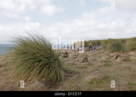 Small colony of Rockhopper Penguins on Bleaker island - Stock Photo