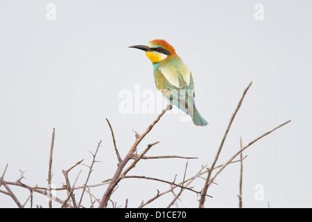European Bee-eater in Etosha National Park, Namibia - Stock Photo