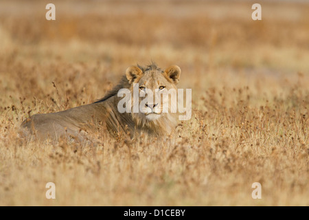 Young male lion in Etosha National Park in Namibia - Stock Photo