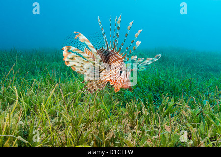 Lionfish spreads out its spines as it swims over seagrass - Stock Photo