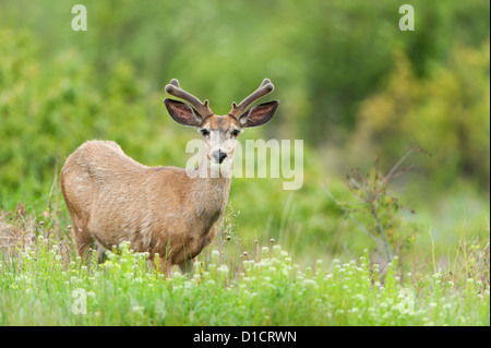 Mule Deer in Velvet, Western Montana - Stock Photo