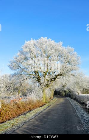 Hoar frost on Oak tree growing beside country lane - Stock Photo