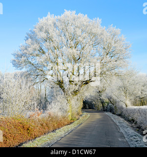 Hoar frost on Oak tree growing beside beside country lane - Stock Photo