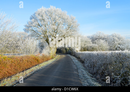Oak tree covered in Hoar frost growing in country lane hedgerow - Stock Photo