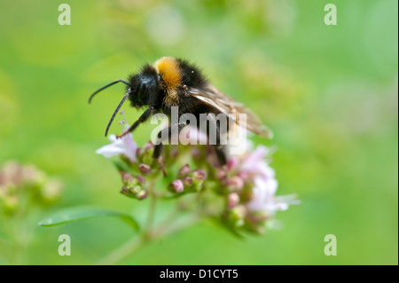 Berlin, Germany, a bumblebee sits on the flowering of Dost - Stock Photo