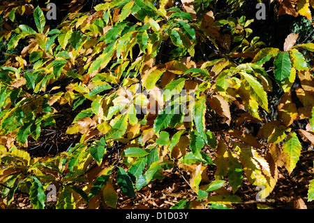 castanea sativa Sweet Chestnut autumn autumnal yellow golden colour color deciduous trees foliage leaves leaf - Stock Photo