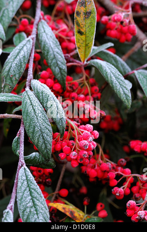 cotoneaster lucidus frosted frosty white wintery wintry frost ice icy coated coating red berries berry cover covered - Stock Photo