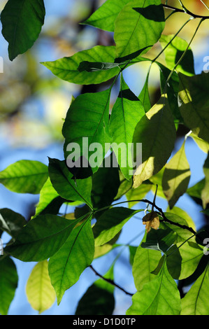 ptelea trifoliata hop tree scented leaves foliage trees scents scented fragrance fragrant perfumed aromatic - Stock Photo