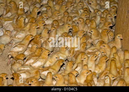 Large flock of fluffy yellow day old chicks at commercial free range poultry farm - Stock Photo