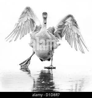 A young mute swan (cygnus olor) slips about on a frozen lake in the Lee valley, England. Monochrome image. - Stock Photo