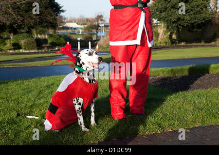 Dalamation Dogs in Christmas festive santa suit costumes in Southport, Merseyside, UK Sunday 16th December, 2012. - Stock Photo