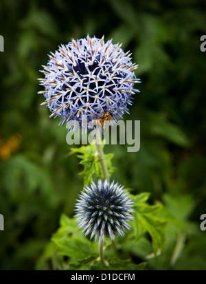 Taplow Blue (Echinops bannaticus) with honey bee feeding - Stock Photo