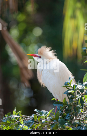 Cattle Egret (Bubulcus ibis) in plumage perched in tree at St. Augustine Alligator Farm Zoological Park, St. Augustine, - Stock Photo