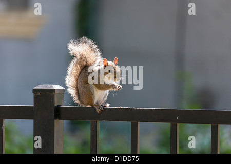 Backlit gray squirrel (Sciurus carolinensis) sitting on cast iron fence. - Stock Photo