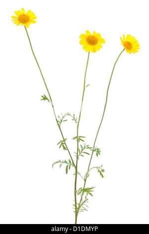 flowers of yellow chamomile on white background - Stock Photo