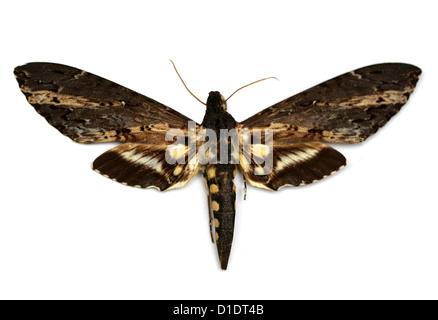 Cluentius Sphinx Hawk-moth, Neococytius cluentius, Sphingidae. Northern South America, Central America, Mexico and - Stock Photo