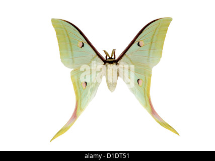 Indian Moon Moth or Indian Luna Moth, Actias selene, Saturniidae. India to Japan, and Asia south to Sumatra and - Stock Photo