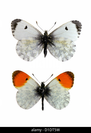 Orange-tip Butterflies, Anthocharis cardamines, Pieridae, Lepidoptera. Female (top), Male (bottom). Mounted Specimens. - Stock Photo