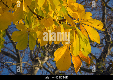 Branch of a chestnut tree with autumn foliage - Stock Photo