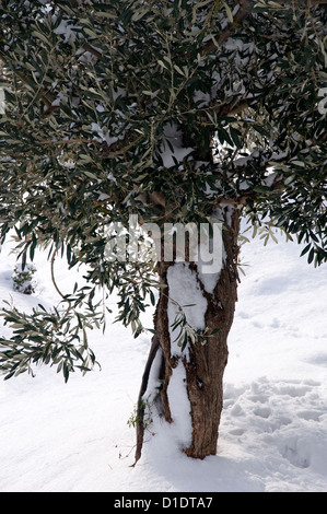 Snow-covered olive tree (Greece) - Stock Photo