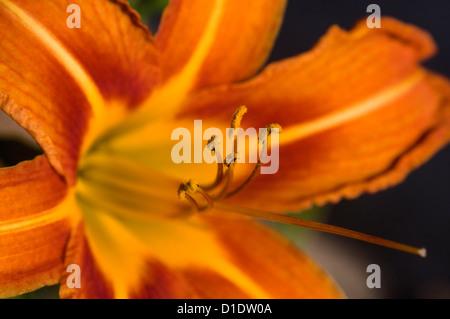 Bloom of the Orange Daylily  (close-up) - Stock Photo