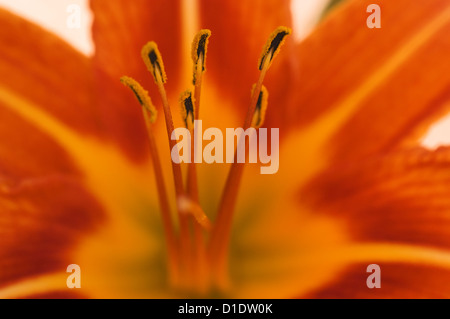 Bloom of the Orange Daylily  (detail) - Stock Photo
