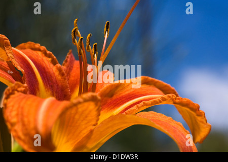 Bloom of the Orange Daylily  (close-up) - Stock Photo