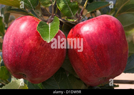 Two red apples on the tree - Stock Photo