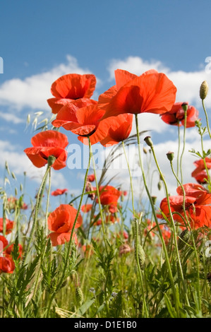 Poppies in fields of crops with cloudy sky - Stock Photo