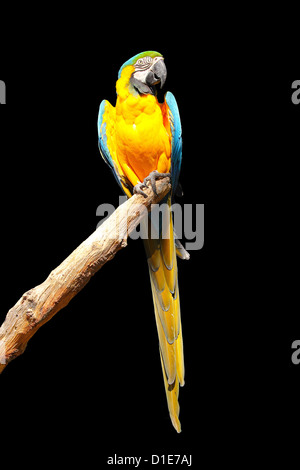 Blue and yellow macaw (blue and gold macaw) (Ara ararauna) in captivity, United Kingdom, Europe - Stock Photo