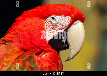Red-and-green macaw (Ara chloropterus), is a large macaw of the Ara genus, in captivity in the United Kingdom, Europe - Stock Photo