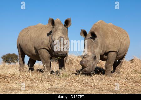 Dehorned white rhinos (Ceratotherium simum) on rhino farm, Klerksdorp, North West Province, South Africa, Africa - Stock Photo