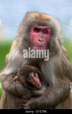 Snow monkey, Japanese macaque (Macaca fuscata) with baby, in captivity, United Kingdom, Europe - Stock Photo