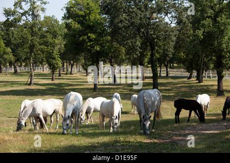 Lipizaner horses in the world famous Lipizaner horses farm, Lipica, Slovenia, Europe - Stock Photo