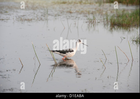 Black winged stilt wading in the shallow wetland waters at the edge of Chilika Lake, Orissa, India, Asia - Stock Photo