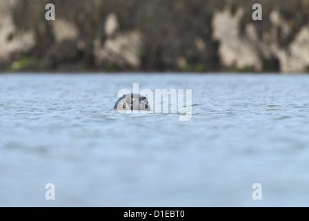 Grey seal (Halichoerus grypus) on the Cairns of Coll, Hebrides, Scotland, United Kingdom, Europe - Stock Photo