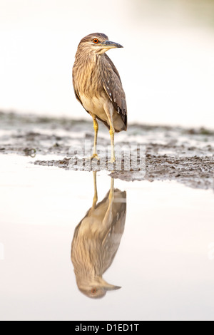 Juvenile Black-crowned night heron (Nycticorax nycticorax) standing on a lake shore - Stock Photo