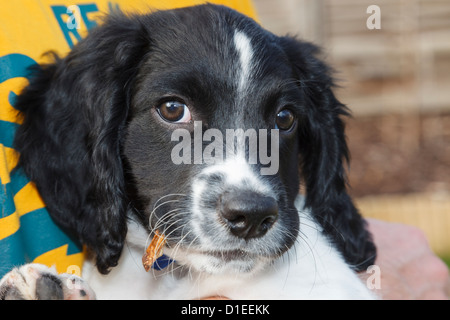 Man holding and caring for a cute ten week pure bred black and white English Springer Spaniel puppy dog in his arms. - Stock Photo