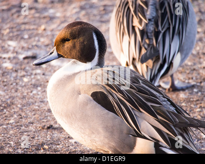 Northern Pintail (Anas acuta) at Martin Mere, A Wildfowl and Wetlands Trust bird reserve near Southport, - Stock Photo