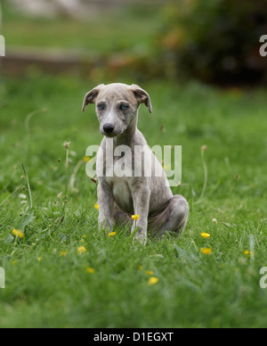 Young Whippet sitting in meadow - Stock Photo