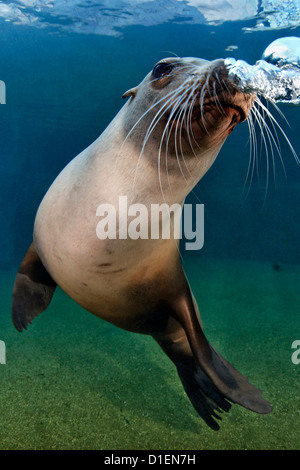 California sea lion (Zalophus californianus), Zoo Karlsruhe, Germany - Stock Photo
