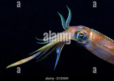 Bigfin reef squid (Sepioteuthis lessoniana), Eilat, Israel, Red Sea, underwater shot - Stock Photo