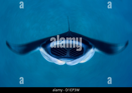 Reef manta (Manta alfredi) feeding plankton, Baa Atoll, Maldives, Indian Ocean, underwater shot - Stock Photo