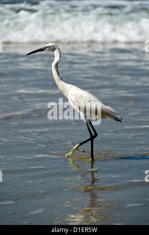 Vertical close up of a Little Egret bird stalking fish in the shallow water on the beach at Varkala, Kerala. - Stock Photo